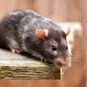 Tipps zur Ratten Haltung - Tierbedarf Discount