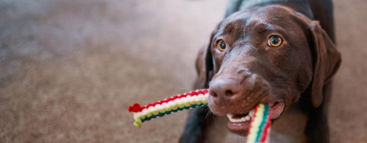 tauziehen-hund-hundespielzeug