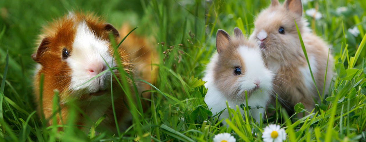 haltung-meerschweinchen-kaninchen